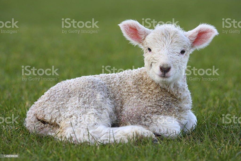 Lamb lying in field stock photo
