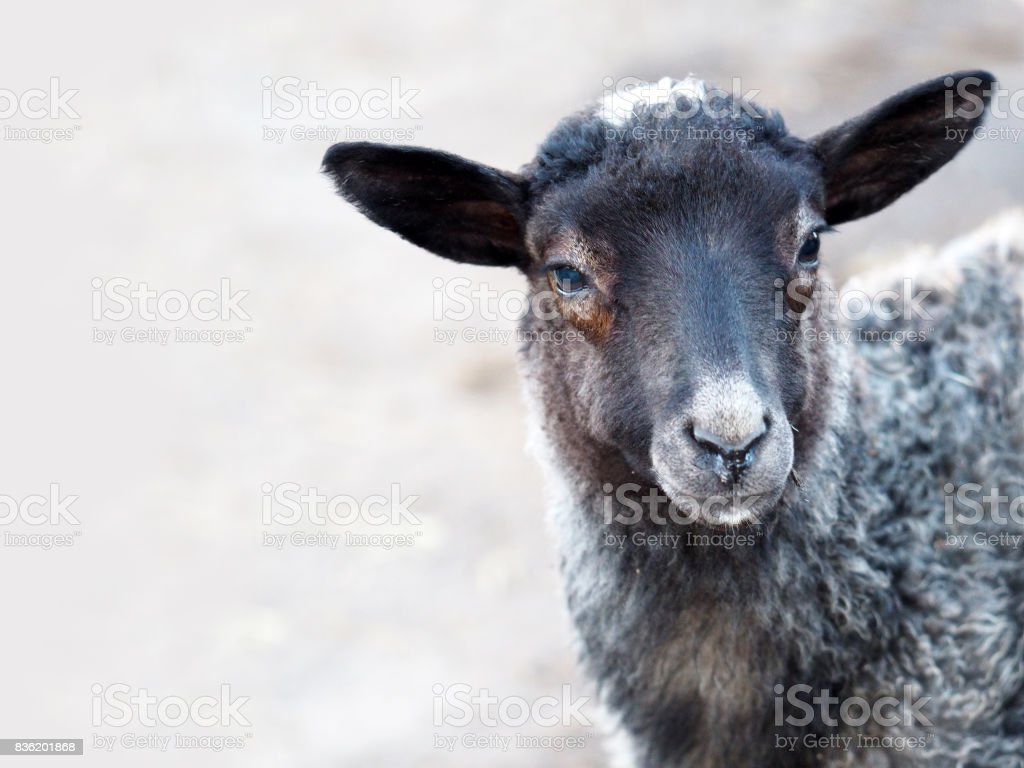 Lamb of Romanov breed stock photo