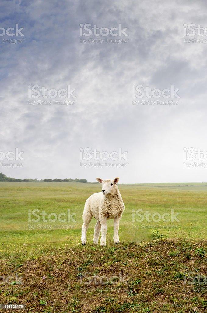 Lamb on a Landscape stock photo