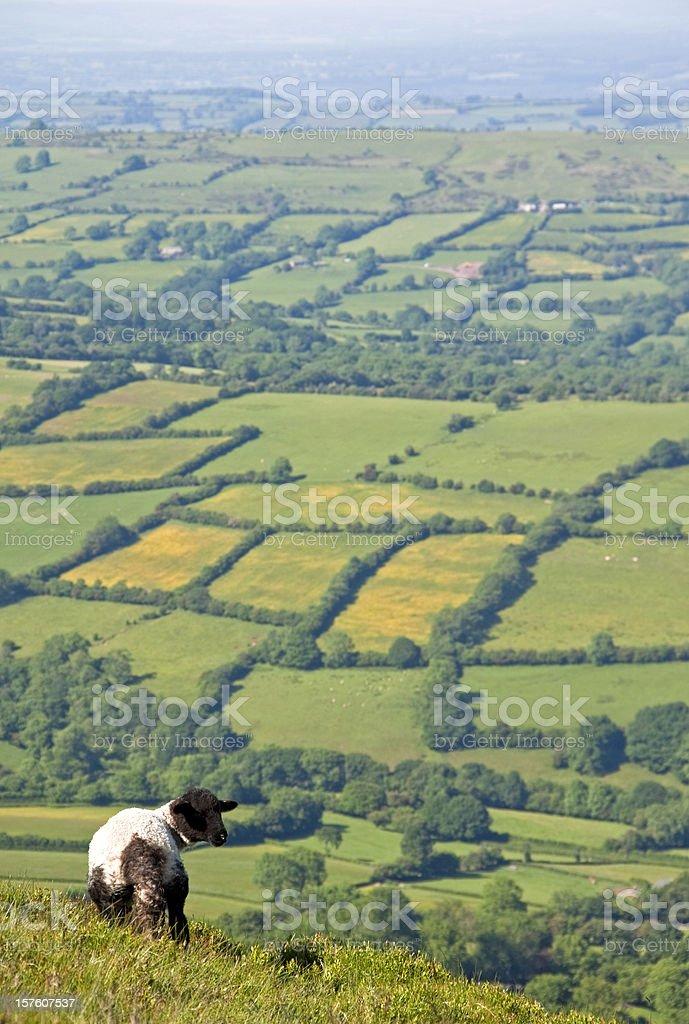 Lamb on Welsh hillside stock photo