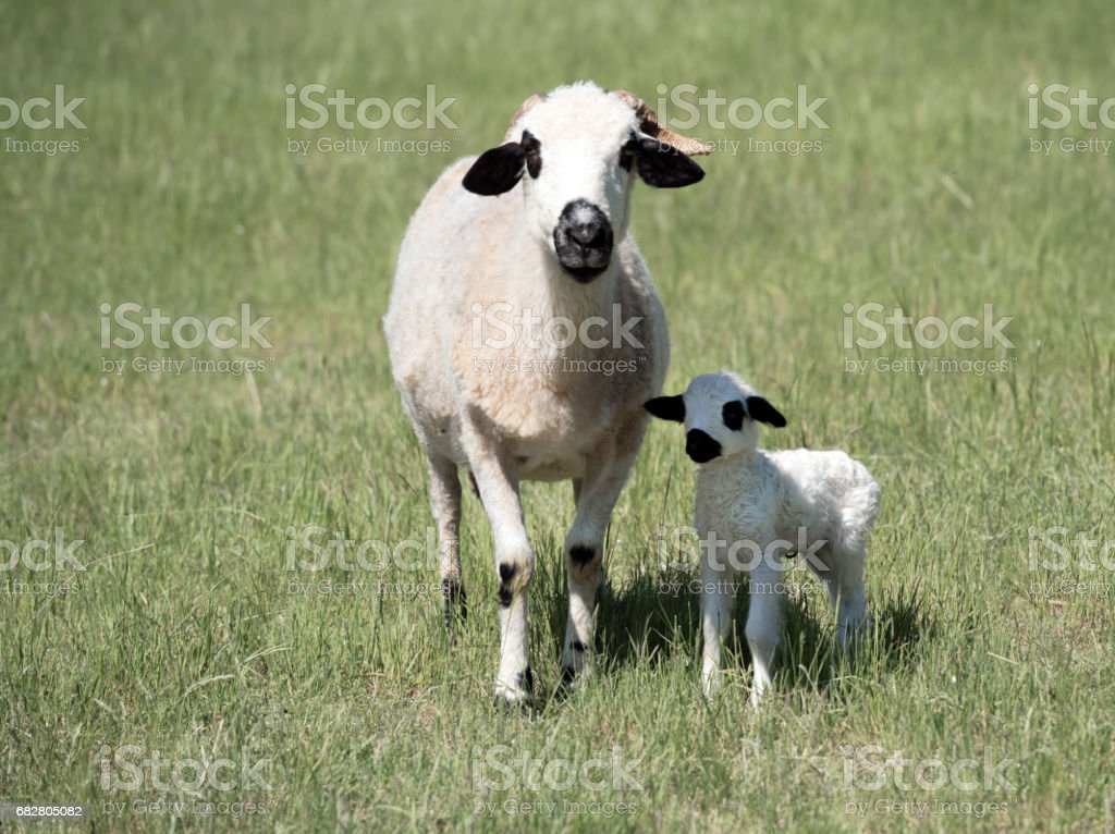 Lamb, one day old, with ewe stock photo