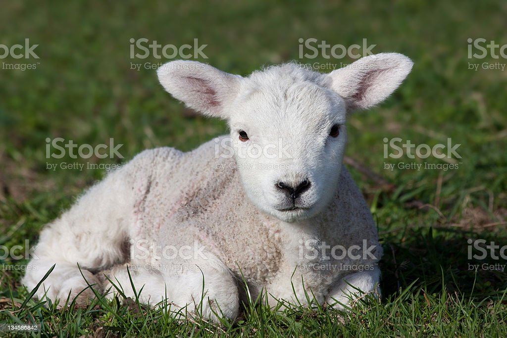 Lamb stock photo