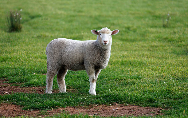 Lamb Lamb looking at cameraFor more Sheep images please visit the lightbox below merino sheep stock pictures, royalty-free photos & images