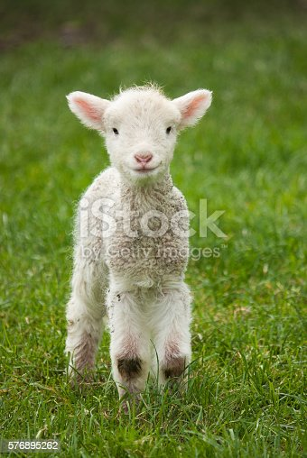 Cute spring lamb in a lush paddock.