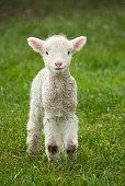 istock Lamb 576895262
