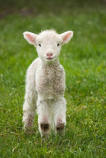 Lamb Cute spring lamb in a lush paddock.   lamb animal stock pictures, royalty-free photos & images