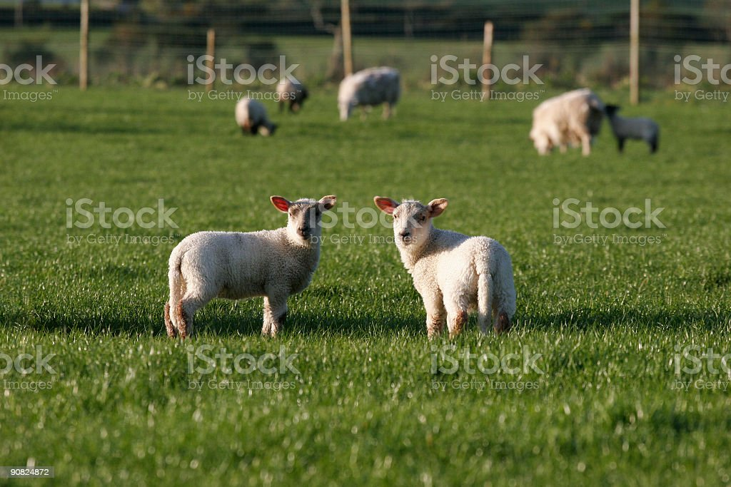 lamb royalty-free stock photo