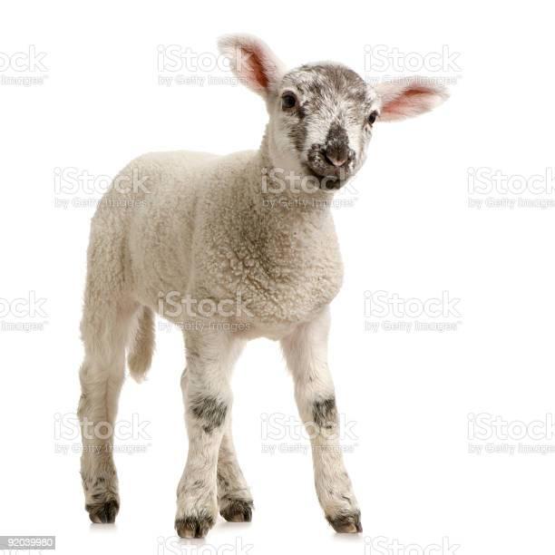 Lamb picture id92039980?b=1&k=6&m=92039980&s=612x612&h=kpstpcea9u htwnoxfr8ff ztcl50bah7dygtv2tms8=