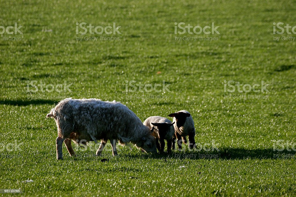 lamb royalty-free stock photo