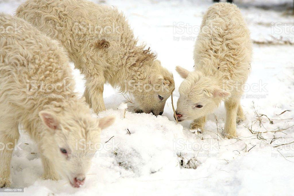 Lamb sheep skudde stock photo