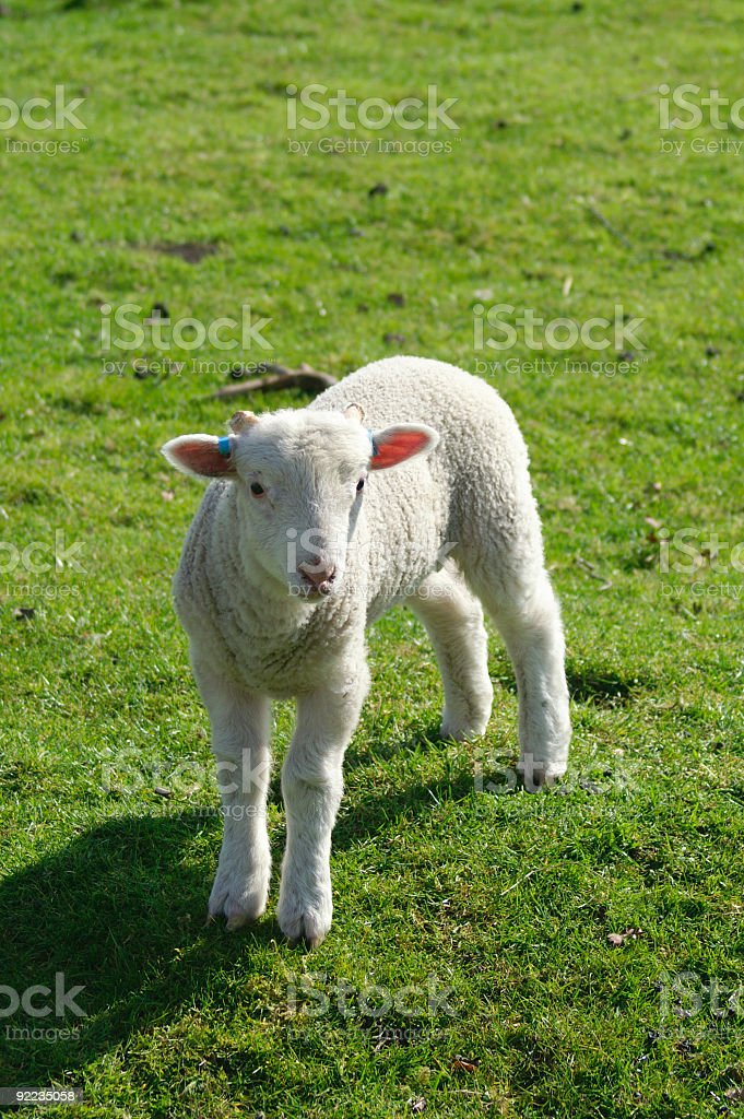 Lamb sidelit royalty-free stock photo