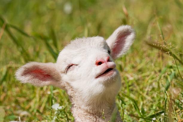 Chant d'agneau. - Photo