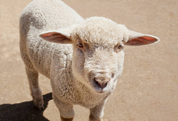 agneau debout dans le champ - année du mouton photos et images de collection