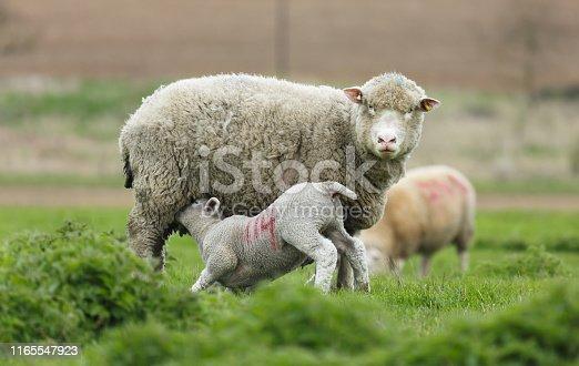 Baby lamb suckling milk from mother sheep, UK