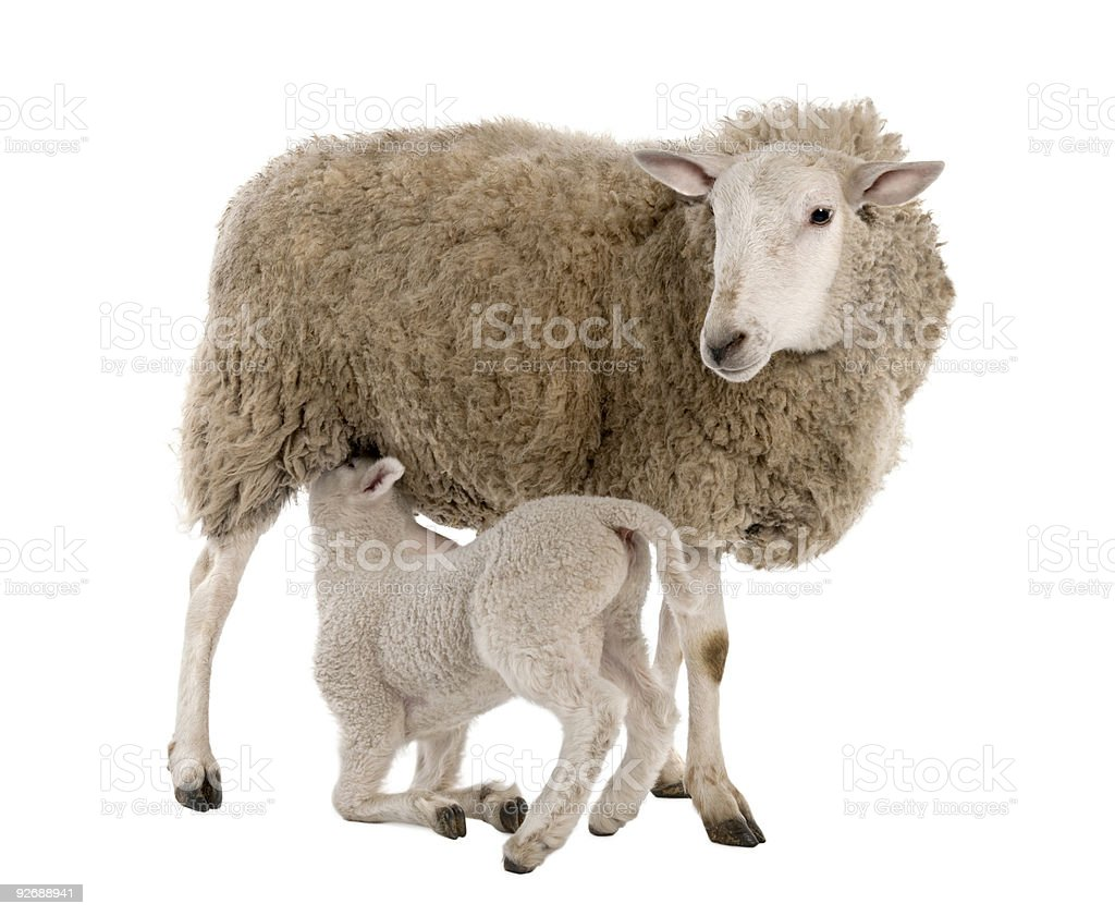 Lamb suckling his mother (a ewe) stock photo