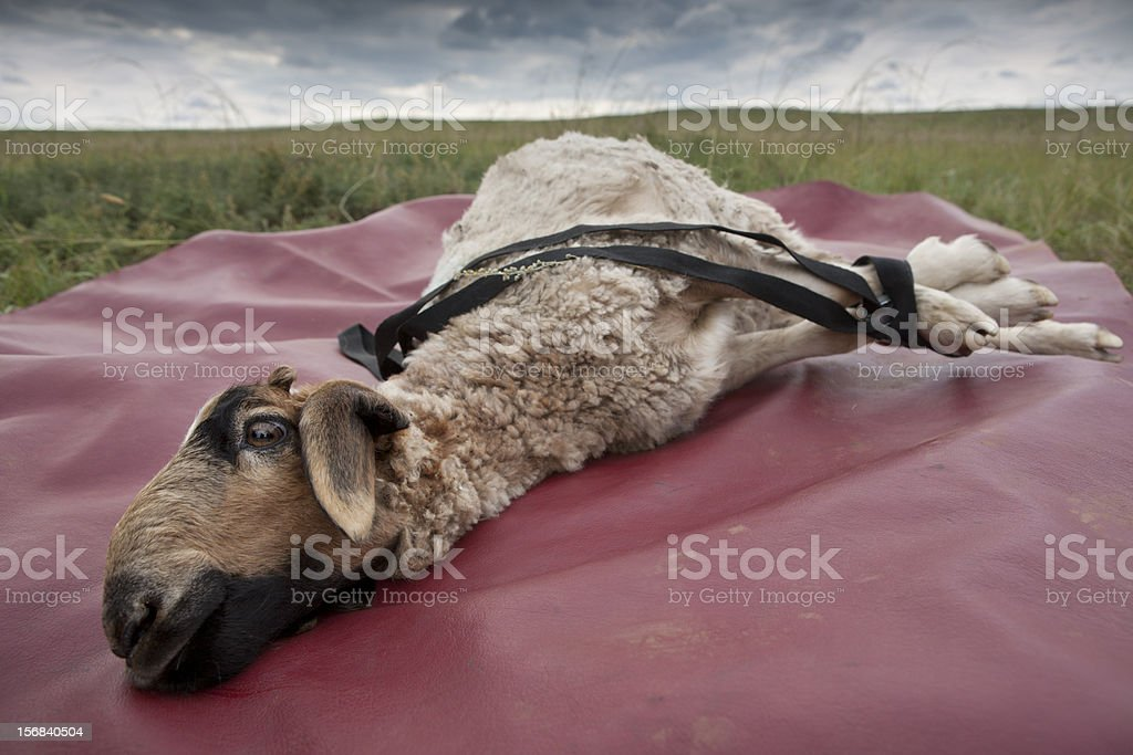 Lamb To The Slaughter Stock Photo - Download Image Now - iStock