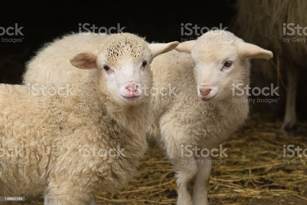 Lamb twins royalty-free stock photo