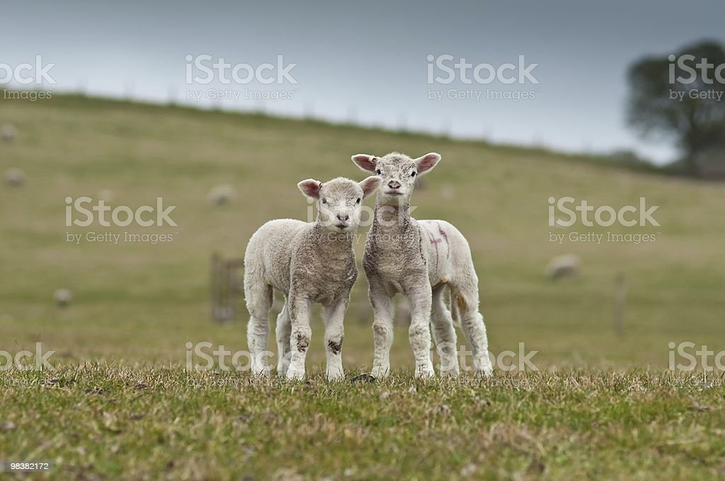 Lamb twins royalty-free stock photo
