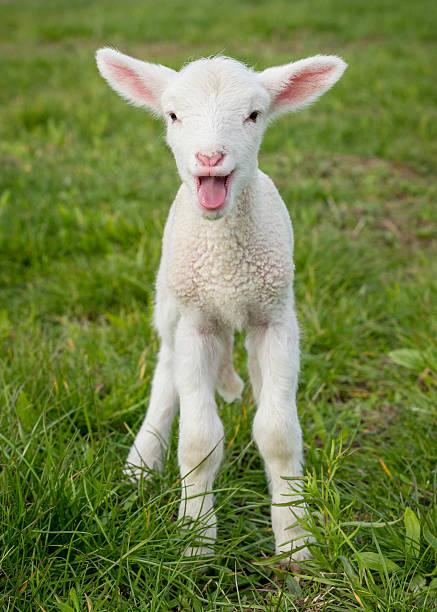 lamb1 - weißes lamm stock-fotos und bilder