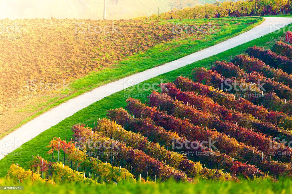 Castelvetro Lambrusco Vineyard stock photo