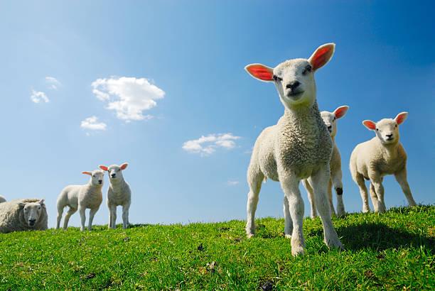 Mignon agneau au printemps - Photo
