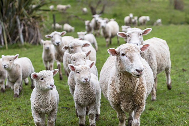 Agnelli e pecore - foto stock