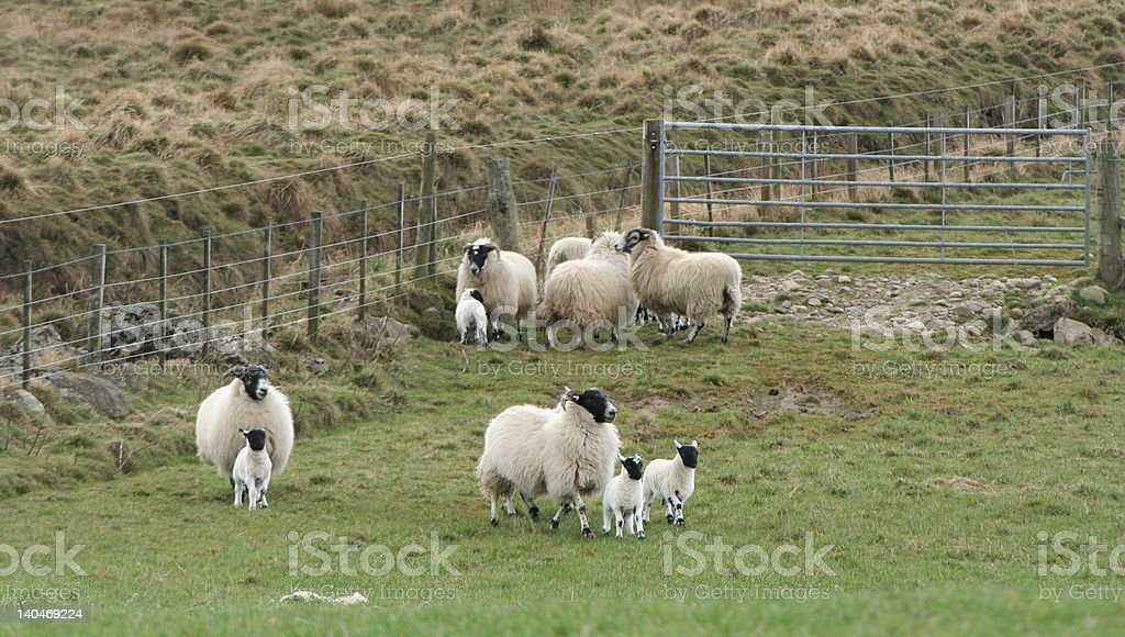 Lambs And Sheep Running Stock Photo & More Pictures of