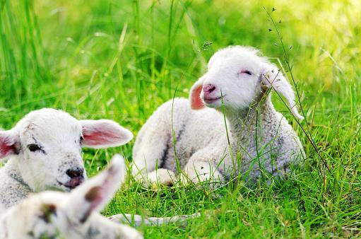 Lambs ar Naturschutzgebiet Heuckenlock - Hamburg