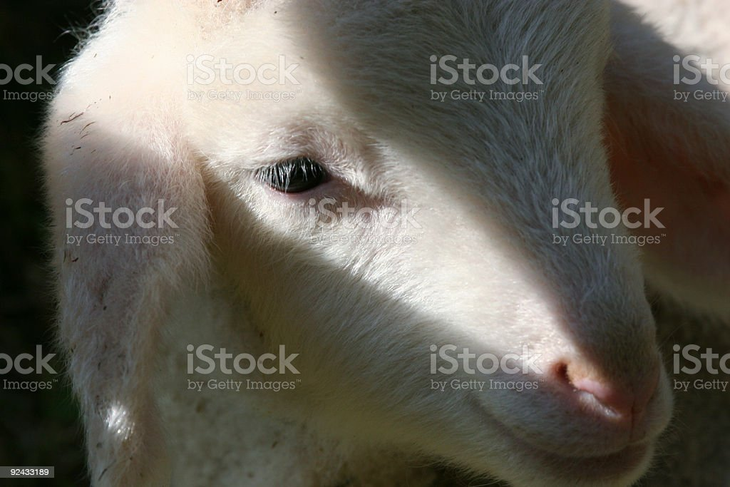 Lamb's close up royalty-free stock photo