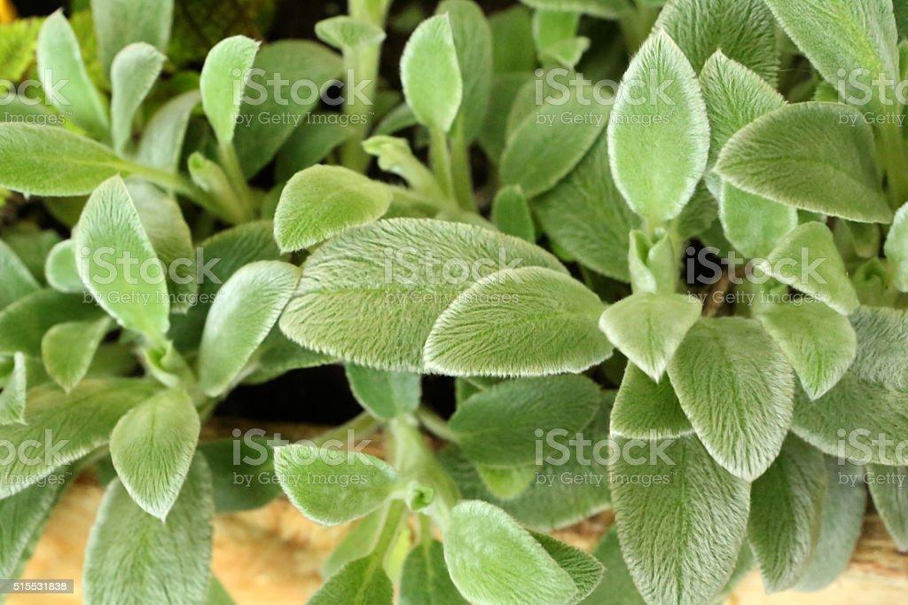 Lamb's Ear - Stachys Byzantina K Koch - Lamiaceae stock photo