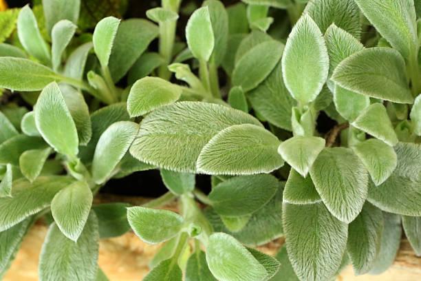 lamm-ohr-stachys byzantina k koch-lamiaceae - desmond koch stock-fotos und bilder