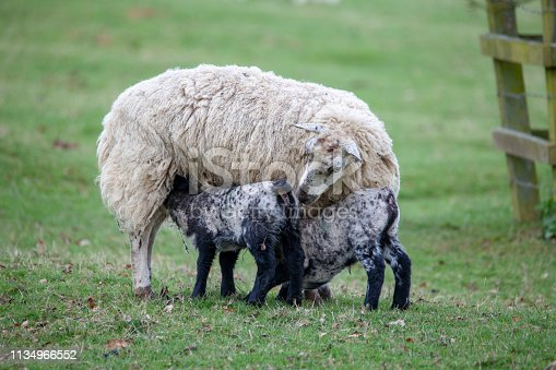 two Lambs feeding from mother sheep