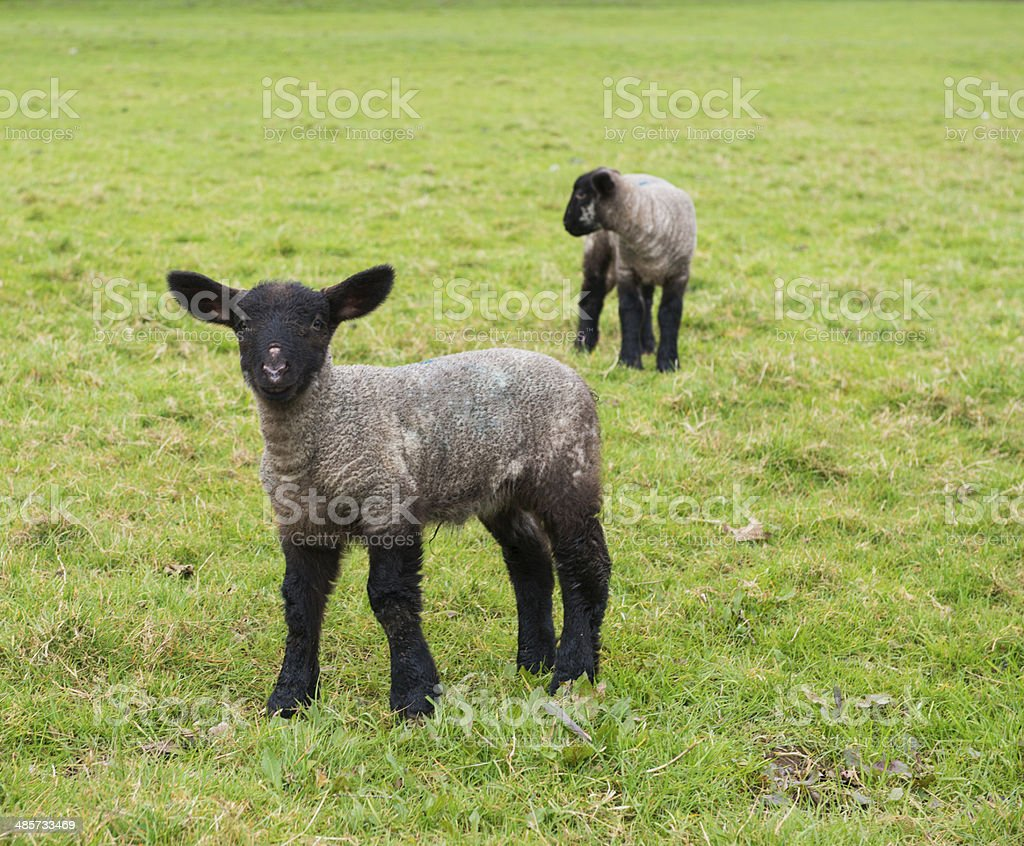 Lambs in a field royalty-free stock photo