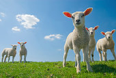 Lambs looking curious on green grass with blue sky