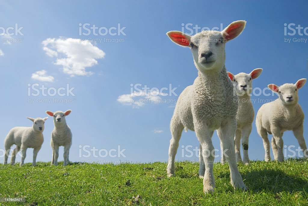 Lambs looking curious on green grass with blue sky stock photo