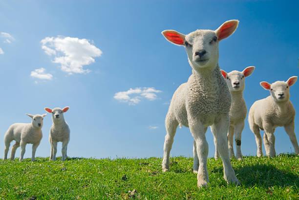 Curieux agneaux en regardant herbe verte et ciel bleu - Photo
