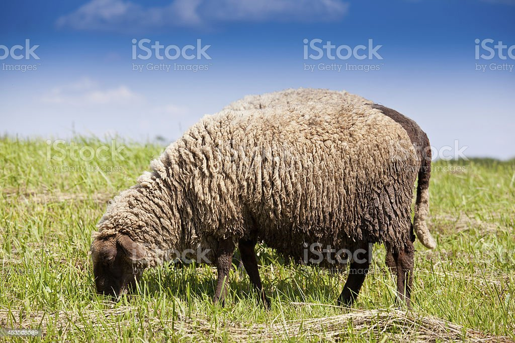 Lambs royalty-free stock photo