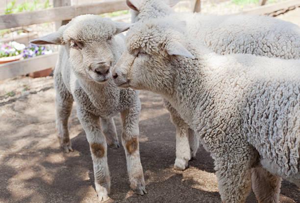 lambs - année du mouton photos et images de collection