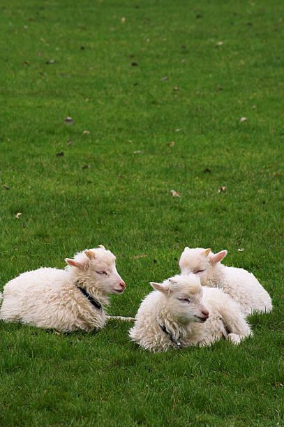 Lambs - Photo