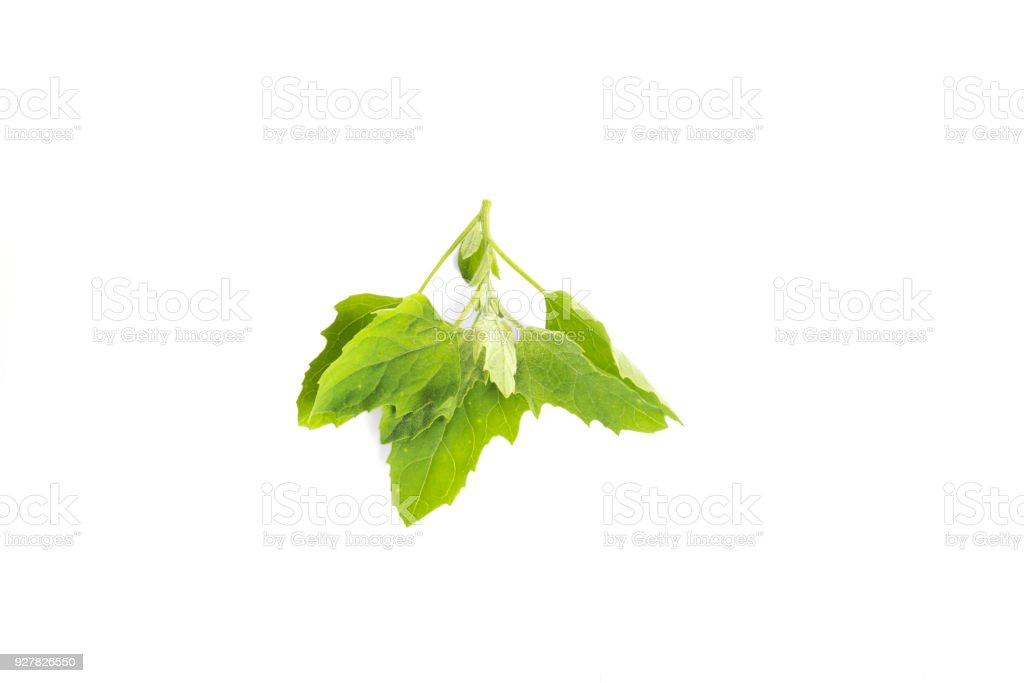 Lamb's Quarters or Pitseed Goosefoot (Chenopodium acerifolium) also known by the common names pitseed goosefoot, huauzontle plant in the goosefoot family stock photo