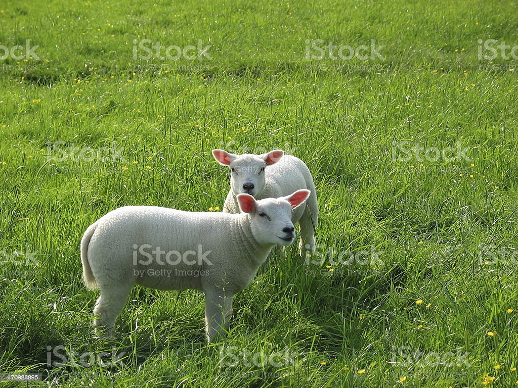 2 lambs standing in grass meadow royalty-free stock photo