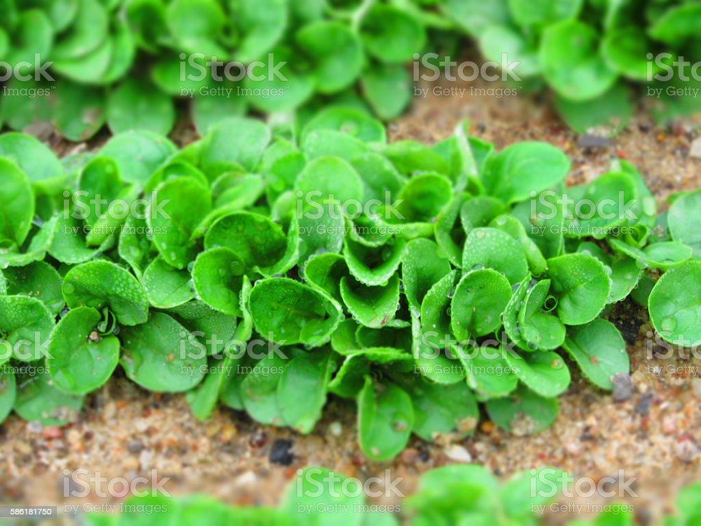 Lambs-lettuce (cornsalad, feld salad) growing field. stock photo