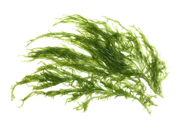 Algues laminaires (Algue géante) isolé sur fond blanc - Photo