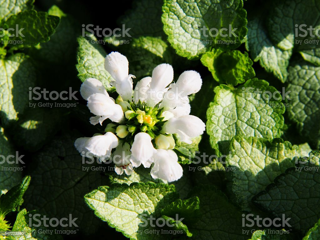 Lamium White Nancy Stock Photo More Pictures Of Backgrounds Istock