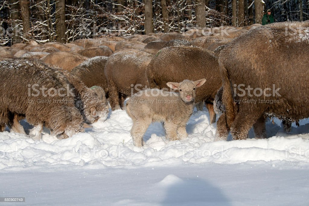 Lamm im Schnee stock photo