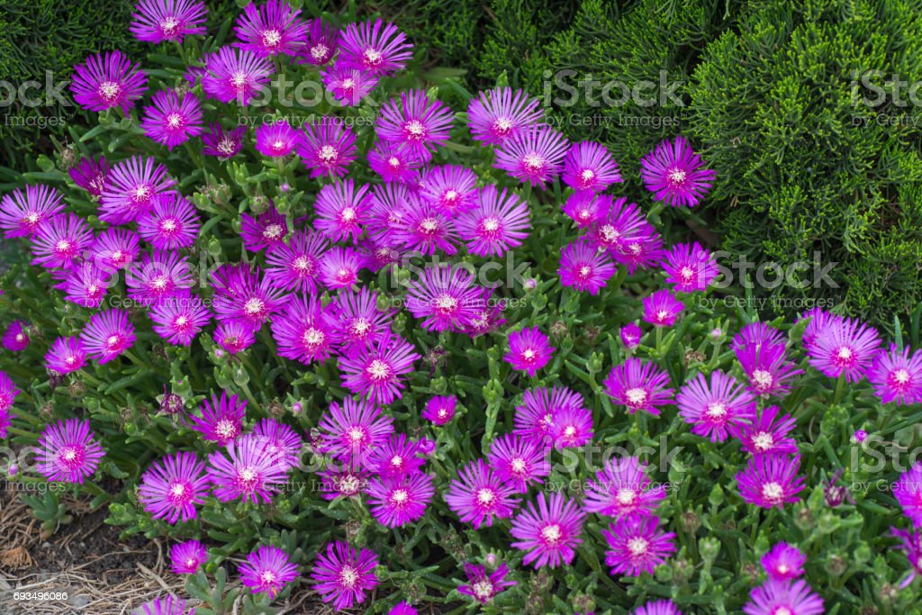 Lampranthus spectabilis flowers stock photo