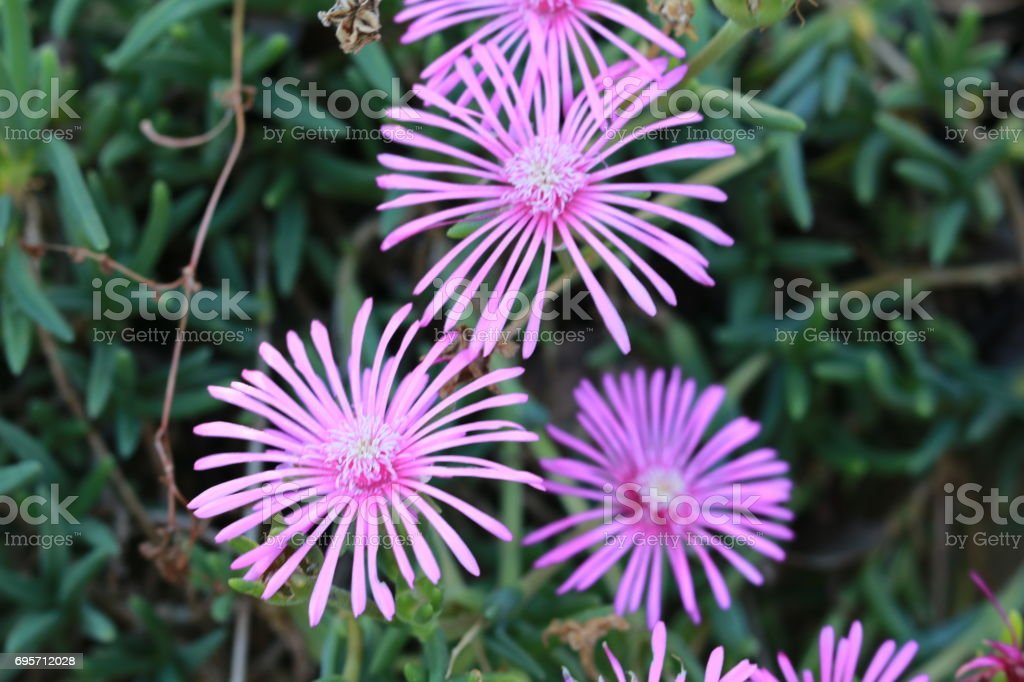 Lampranthus spectabilis stock photo
