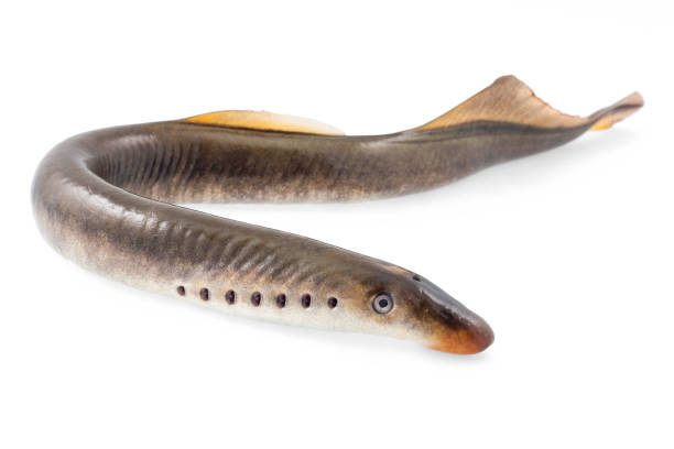 Lamprey fish stock photo