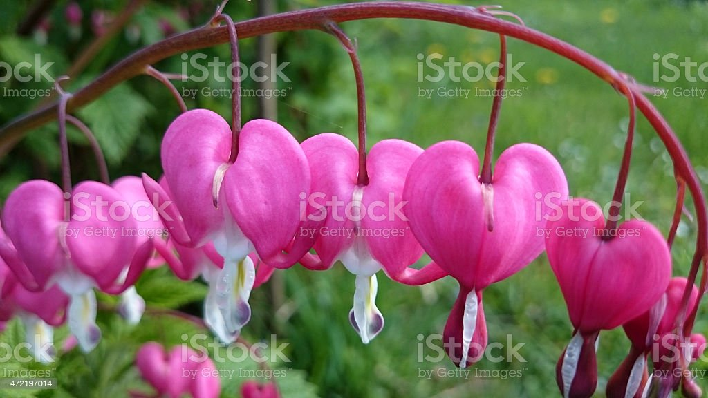 Lamprocapnos spectabilis or bleeding heart blossoms royalty-free stock photo
