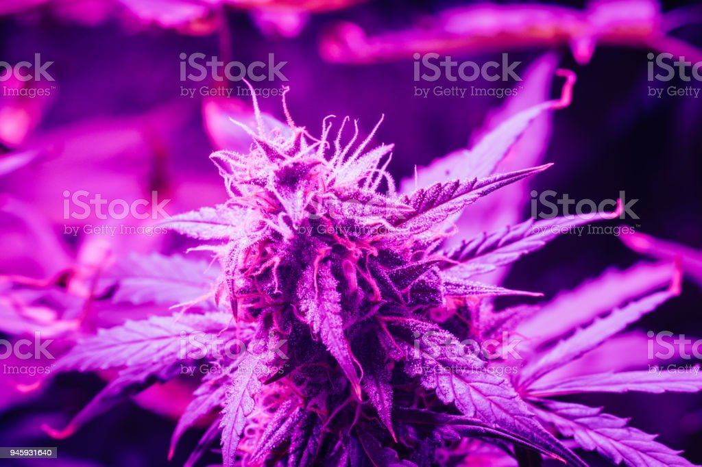Cannabis Grand Grow Droit Libre Lampes De Bourgeon Photo Led UVGMpjLqzS